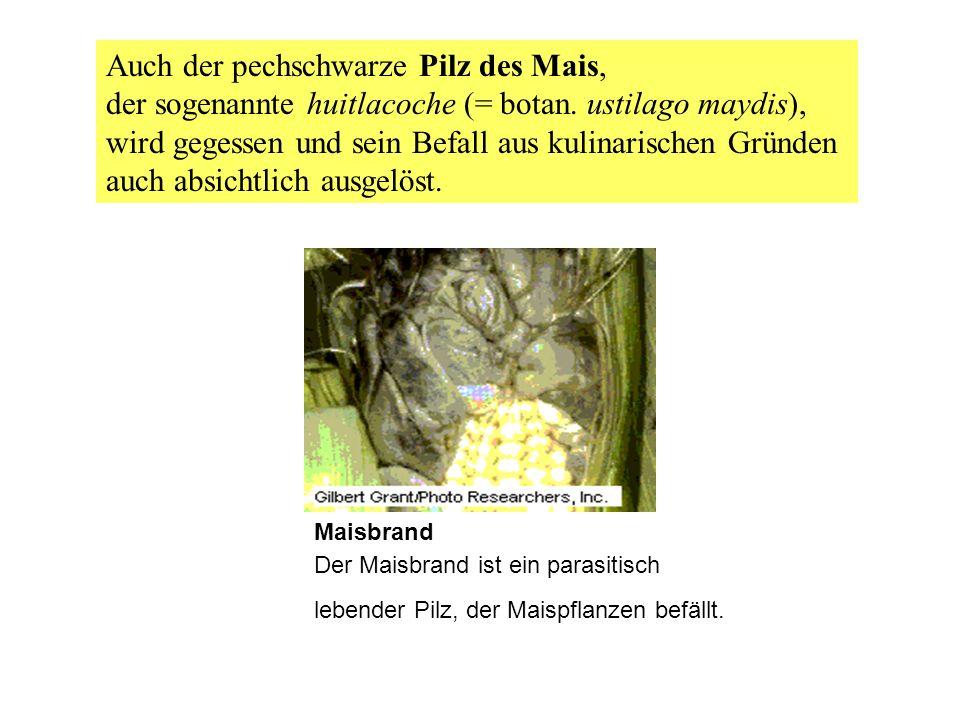 Maisbrand Der Maisbrand ist ein parasitisch lebender Pilz, der Maispflanzen befällt. Auch der pechschwarze Pilz des Mais, der sogenannte huitlacoche (