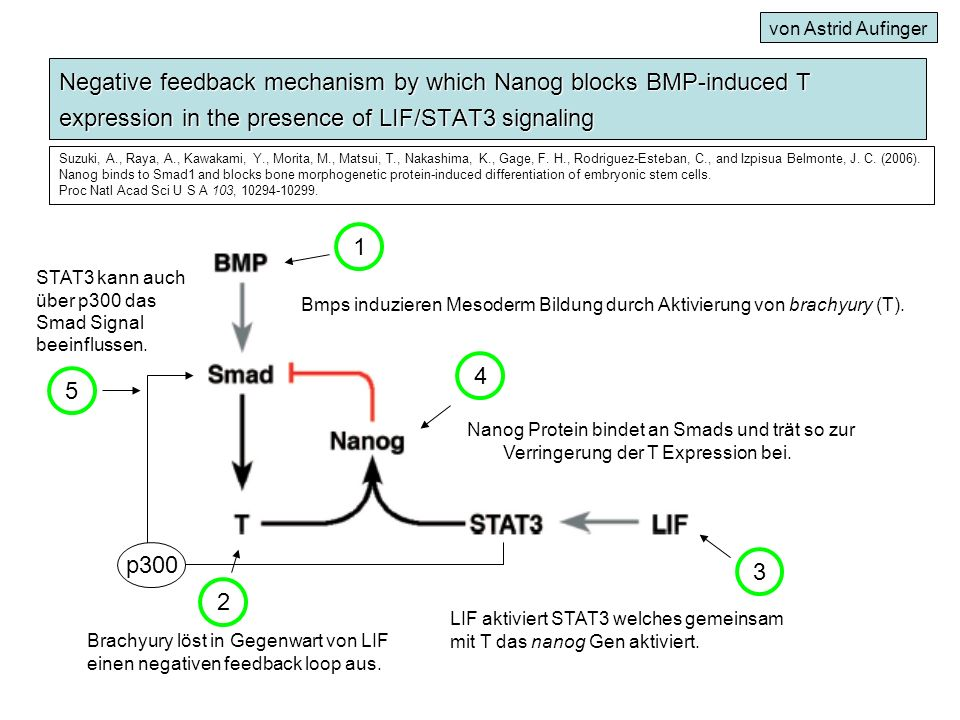 Negative feedback mechanism by which Nanog blocks BMP-induced T expression in the presence of LIF/STAT3 signaling Bmps induzieren Mesoderm Bildung dur