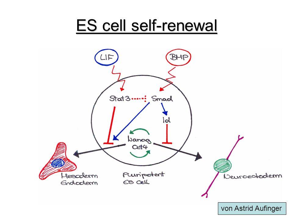 ES cell self-renewal von Astrid Aufinger