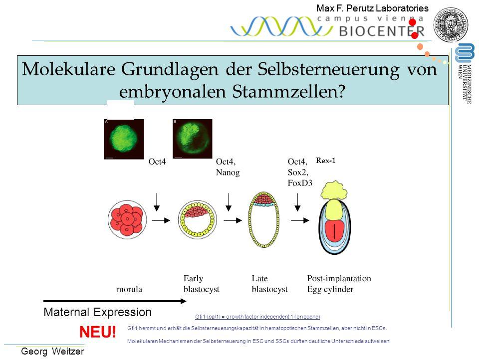Max F. Perutz Laboratories Molekulare Grundlagen der Selbsterneuerung von embryonalen Stammzellen? Rex-1 Maternal Expression Max F. Perutz Laboratorie