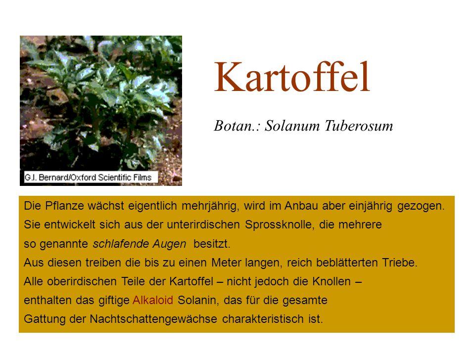 Kartoffel Botan.: Solanum Tuberosum Die Pflanze wächst eigentlich mehrjährig, wird im Anbau aber einjährig gezogen. Sie entwickelt sich aus der unteri