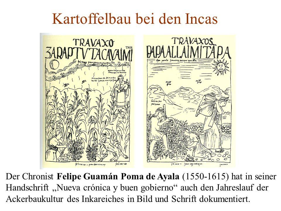 Kartoffelbau bei den Incas Der Chronist Felipe Guamán Poma de Ayala (1550-1615) hat in seiner Handschrift Nueva crónica y buen gobierno auch den Jahre
