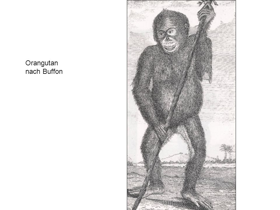 Orangutan nach Buffon
