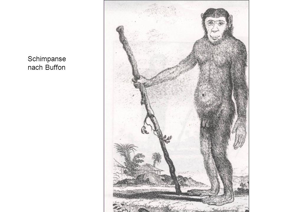 Schimpanse nach Buffon