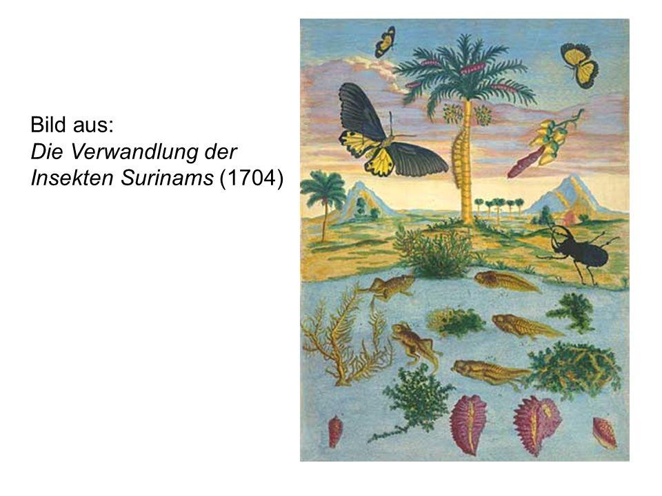 Bild aus: Die Verwandlung der Insekten Surinams (1704)