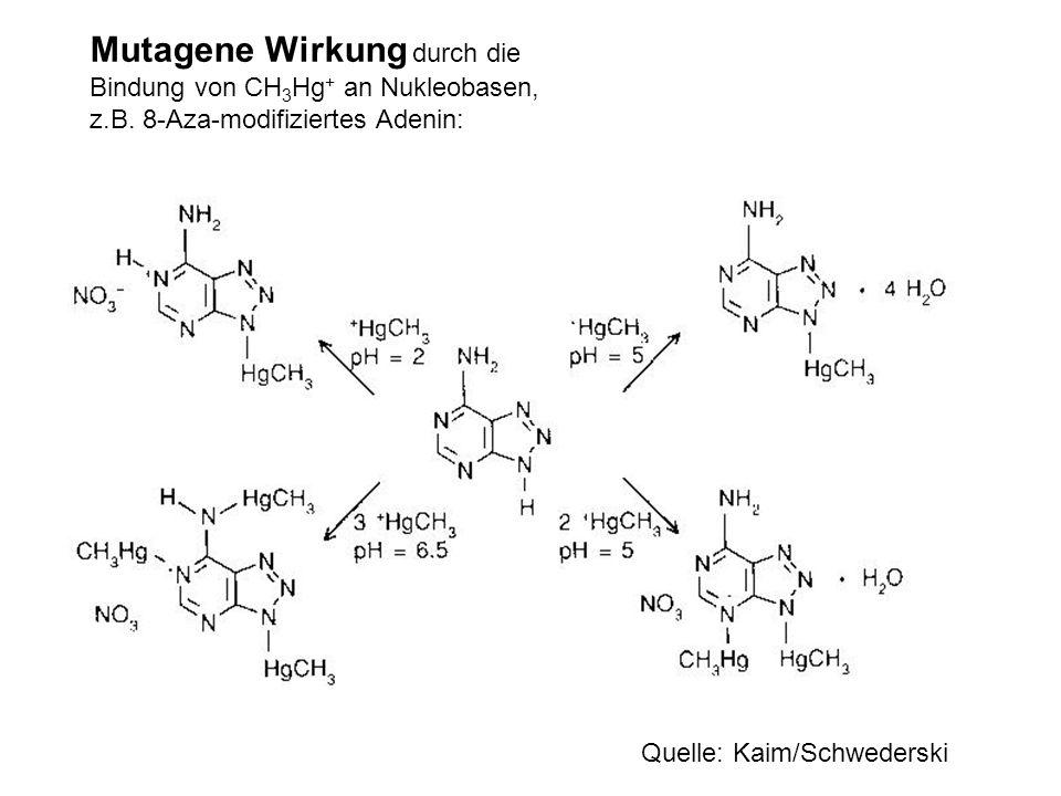 Mutagene Wirkung durch die Bindung von CH 3 Hg + an Nukleobasen, z.B. 8-Aza-modifiziertes Adenin: Quelle: Kaim/Schwederski