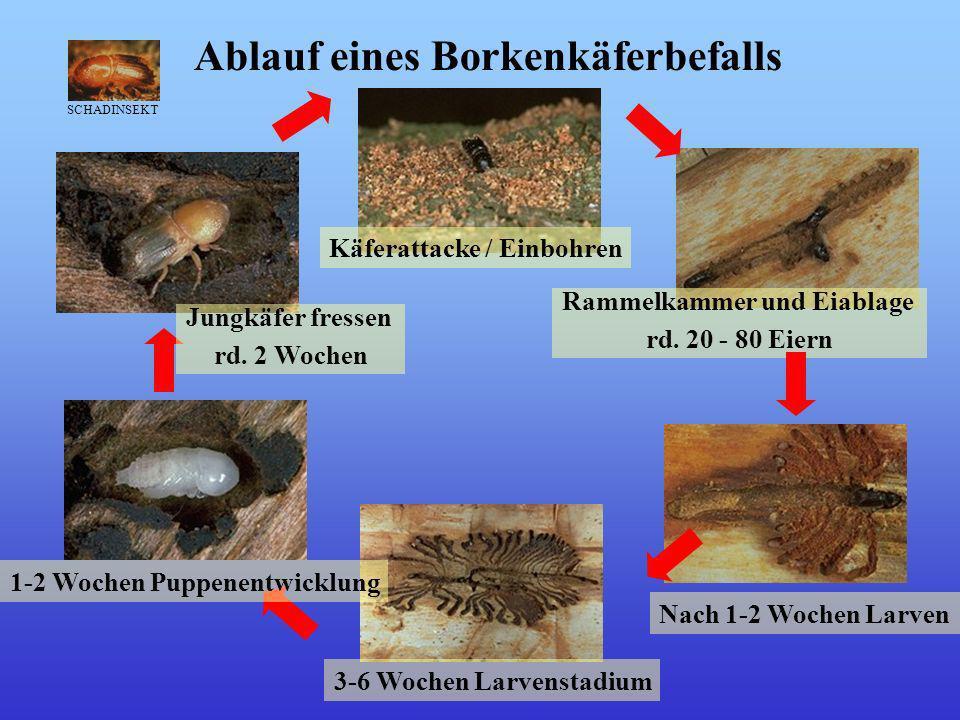 Käferattacke / Einbohren Rammelkammer und Eiablage rd.