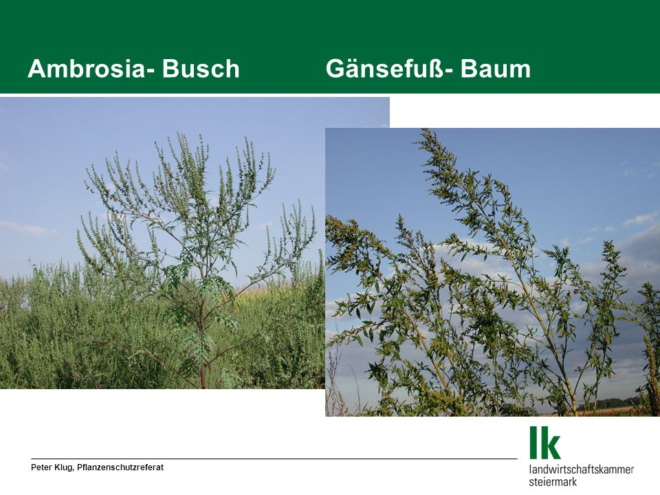 Ambrosia- Busch Gänsefuß- Baum