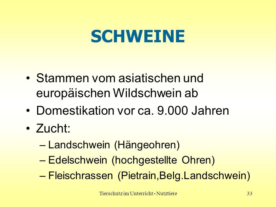 Tierschutz im Unterricht - Nutztiere33 SCHWEINE Stammen vom asiatischen und europäischen Wildschwein ab Domestikation vor ca. 9.000 Jahren Zucht: –Lan