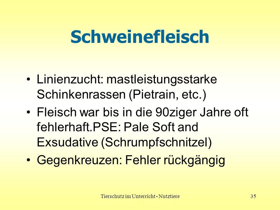 Tierschutz im Unterricht - Nutztiere35 Schweinefleisch Linienzucht: mastleistungsstarke Schinkenrassen (Pietrain, etc.) Fleisch war bis in die 90ziger