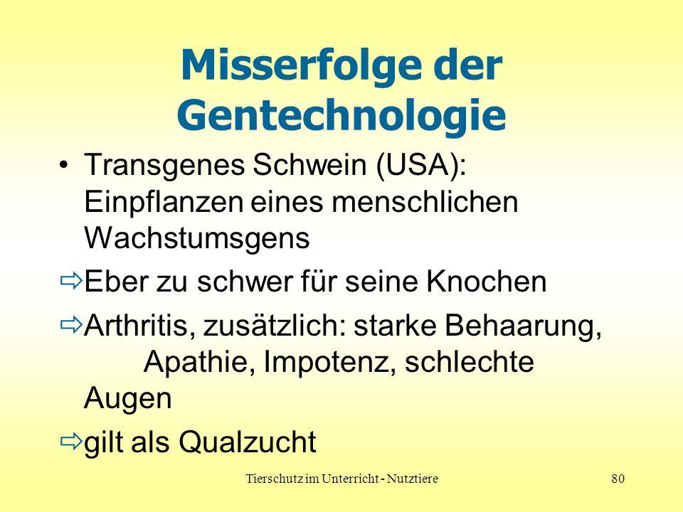 Tierschutz im Unterricht - Nutztiere80 Misserfolge der Gentechnologie Transgenes Schwein (USA): Einpflanzen eines menschlichen Wachstumsgens Eber zu schwer für seine Knochen Arthritis, zusätzlich: starke Behaarung, Apathie, Impotenz, schlechte Augen gilt als Qualzucht