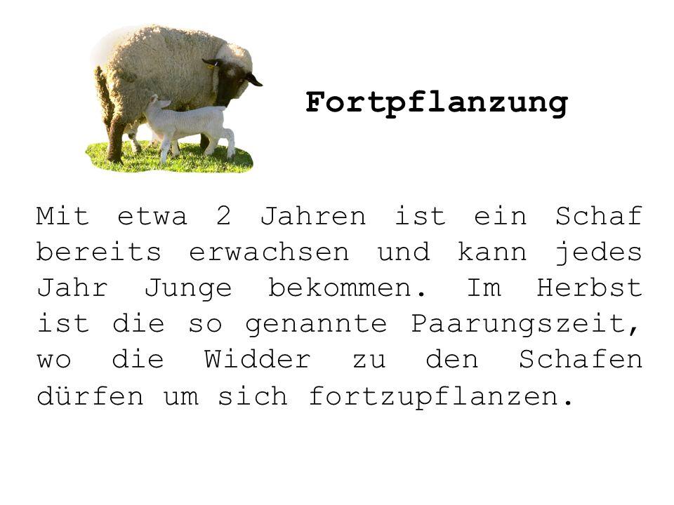 Mit etwa 2 Jahren ist ein Schaf bereits erwachsen und kann jedes Jahr Junge bekommen. Im Herbst ist die so genannte Paarungszeit, wo die Widder zu den
