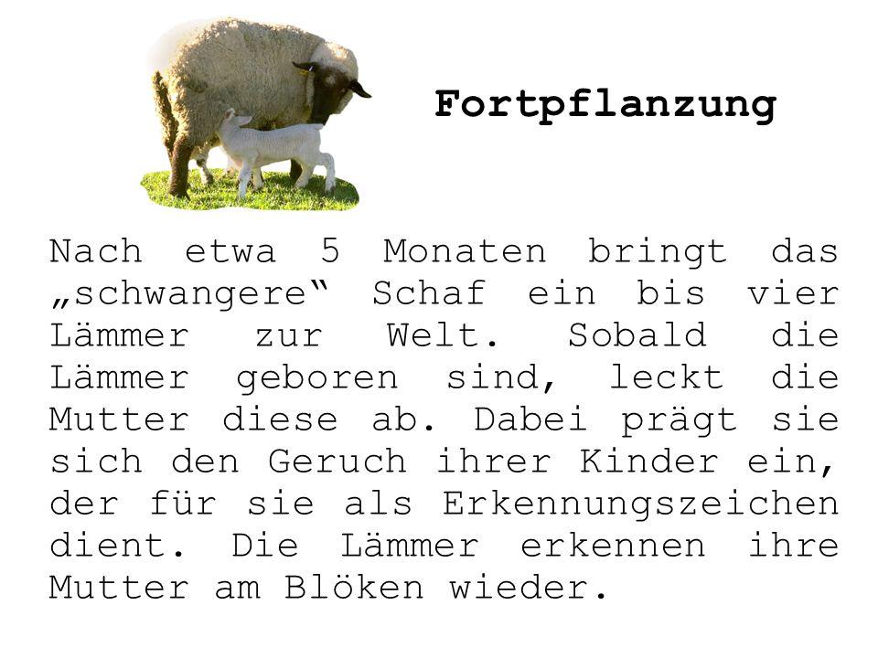 Nach etwa 5 Monaten bringt das schwangere Schaf ein bis vier Lämmer zur Welt. Sobald die Lämmer geboren sind, leckt die Mutter diese ab. Dabei prägt s
