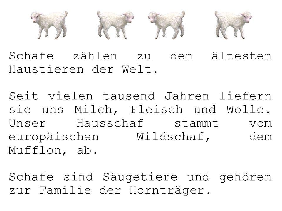 Schafe zählen zu den ältesten Haustieren der Welt. Seit vielen tausend Jahren liefern sie uns Milch, Fleisch und Wolle. Unser Hausschaf stammt vom eur