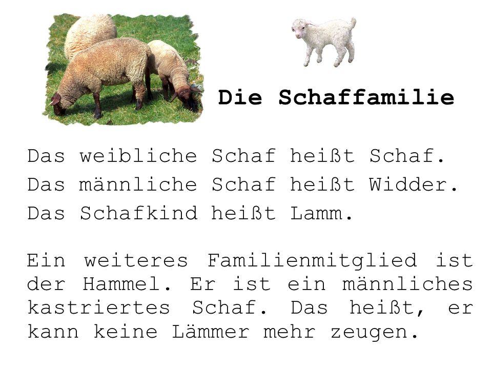 Das weibliche Schaf heißt Schaf. Das männliche Schaf heißt Widder. Das Schafkind heißt Lamm. Ein weiteres Familienmitglied ist der Hammel. Er ist ein