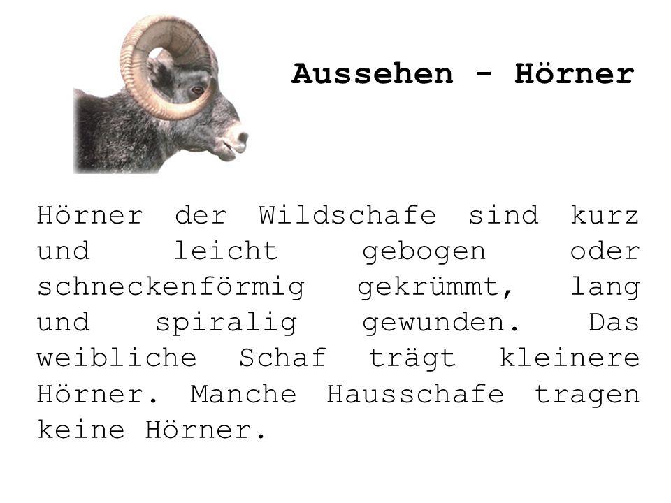 Hörner der Wildschafe sind kurz und leicht gebogen oder schneckenförmig gekrümmt, lang und spiralig gewunden. Das weibliche Schaf trägt kleinere Hörne