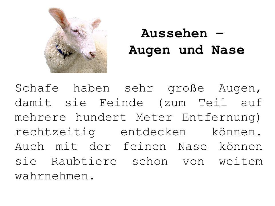 Schafe haben sehr große Augen, damit sie Feinde (zum Teil auf mehrere hundert Meter Entfernung) rechtzeitig entdecken können. Auch mit der feinen Nase