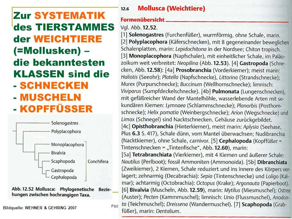 © Schermaier & Starke Pädagogische Hochschule Oberösterreich Fachbereich Biologie 2011 Zur SYSTEMATIK des TIERSTAMMES der WEICHTIERE (=Mollusken) – die bekanntesten KLASSEN sind die - SCHNECKEN - MUSCHELN - KOPFFÜSSER Bildquelle: WEHNER & GEHRING 2007