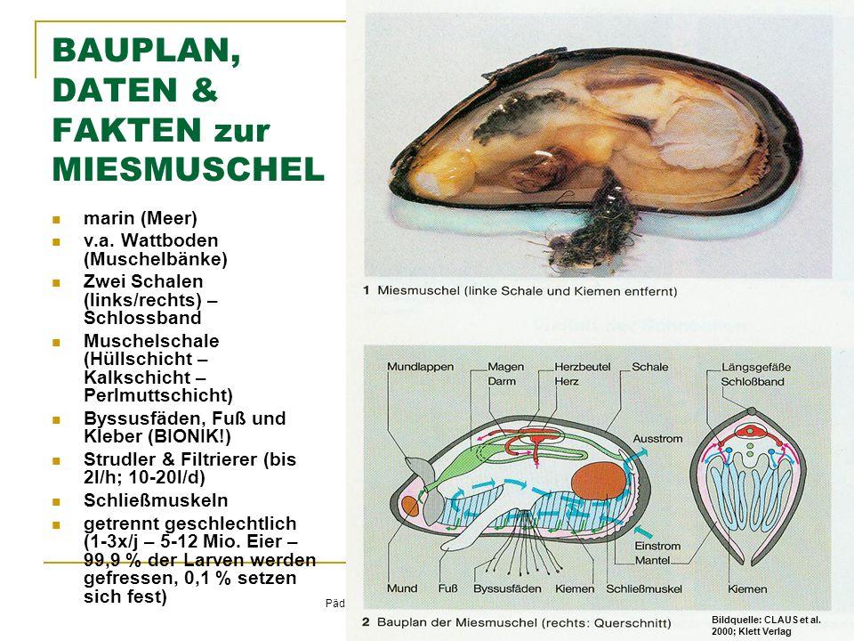 © Schermaier & Starke Pädagogische Hochschule Oberösterreich Fachbereich Biologie 2011 BAUPLAN, DATEN & FAKTEN zur MIESMUSCHEL marin (Meer) v.a.