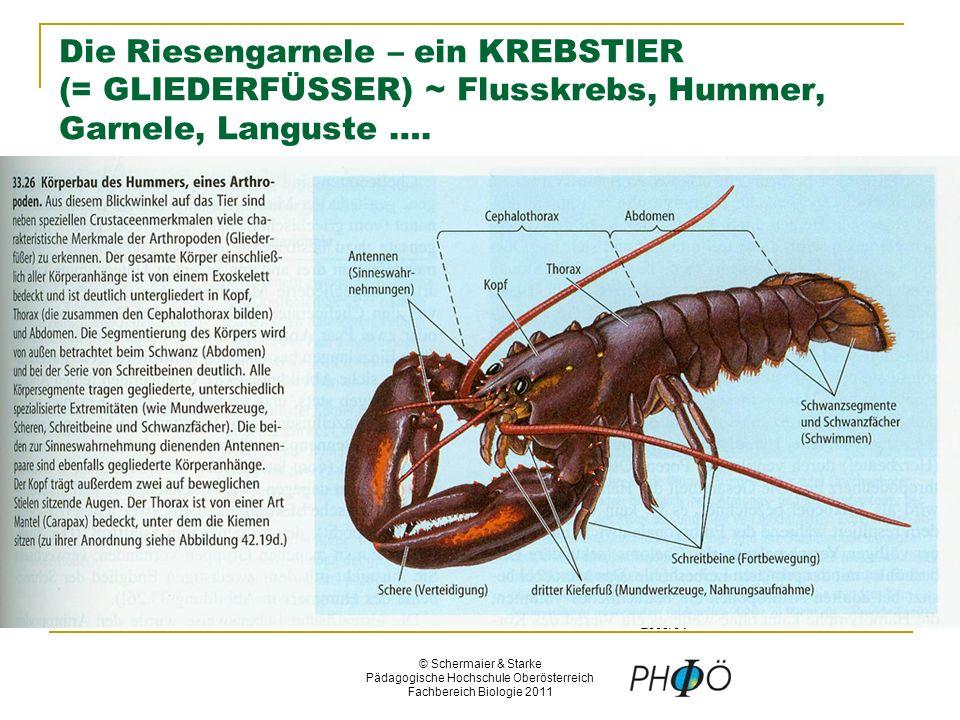 © Schermaier & Starke Pädagogische Hochschule Oberösterreich Fachbereich Biologie 2011 Die Riesengarnele – ein KREBSTIER (= GLIEDERFÜSSER) ~ Flusskrebs, Hummer, Garnele, Languste ….