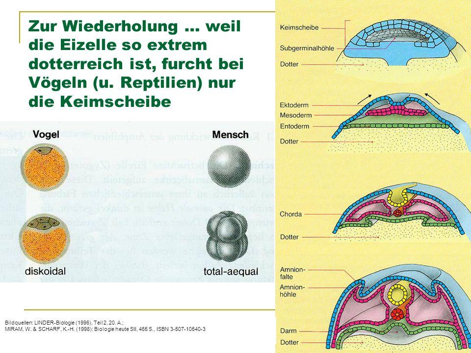 © Schermaier & Starke Pädagogische Hochschule Oberösterreich Fachbereich Biologie 2011 Zur Wiederholung … weil die Eizelle so extrem dotterreich ist, furcht bei Vögeln (u.