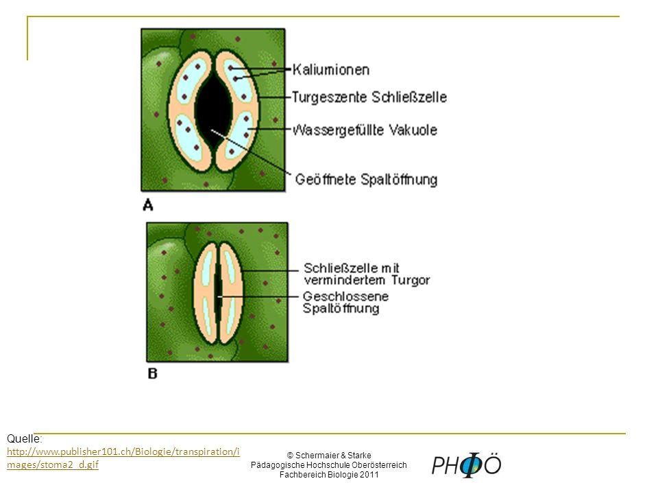 © Schermaier & Starke Pädagogische Hochschule Oberösterreich Fachbereich Biologie 2011 Quelle: http://www.publisher101.ch/Biologie/transpiration/i mages/stoma2_d.gif http://www.publisher101.ch/Biologie/transpiration/i mages/stoma2_d.gif