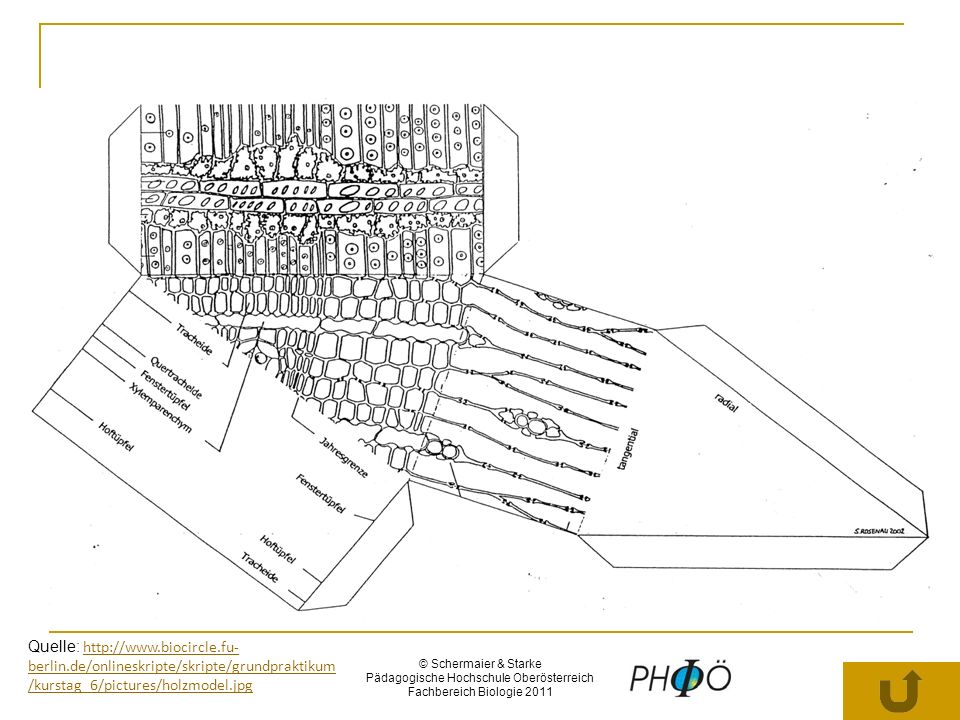 © Schermaier & Starke Pädagogische Hochschule Oberösterreich Fachbereich Biologie 2011 Die Miesmuschel – ein WEICHTIER mit harter Schale Grundbauplan – Weichtiere 1 KOPF 2 FUSS 3 EINGEWEIDESACK 4 MANTEL (± SCHALE) Bildquelle: Schülerheft Judy Huynh; 3N Klasse BG/BRG Brucknerstraße Wels; 2003/04