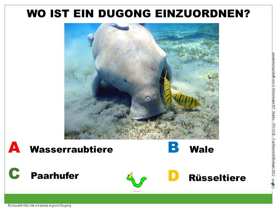 zusammengestellt von A. Schermaier & P. Starke – PH OOE – Fachbereich Biologie 2012 WO IST EIN DUGONG EINZUORDNEN? A Wasserraubtiere B Wale C Paarhufe