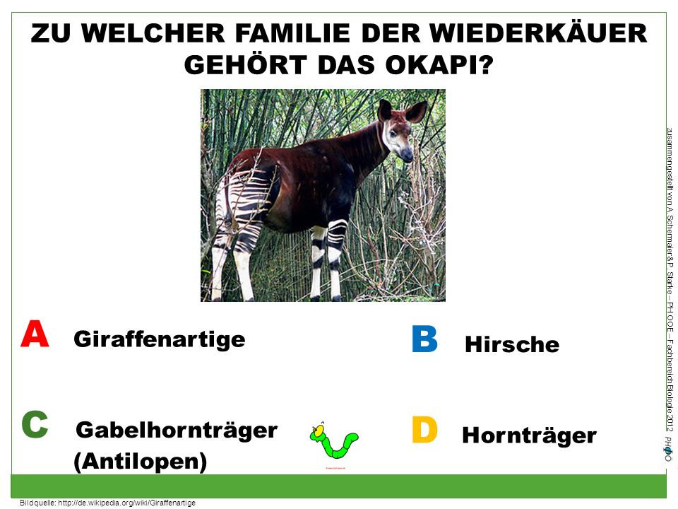 zusammengestellt von A. Schermaier & P. Starke – PH OOE – Fachbereich Biologie 2012 ZU WELCHER FAMILIE DER WIEDERKÄUER GEHÖRT DAS OKAPI? A Giraffenart