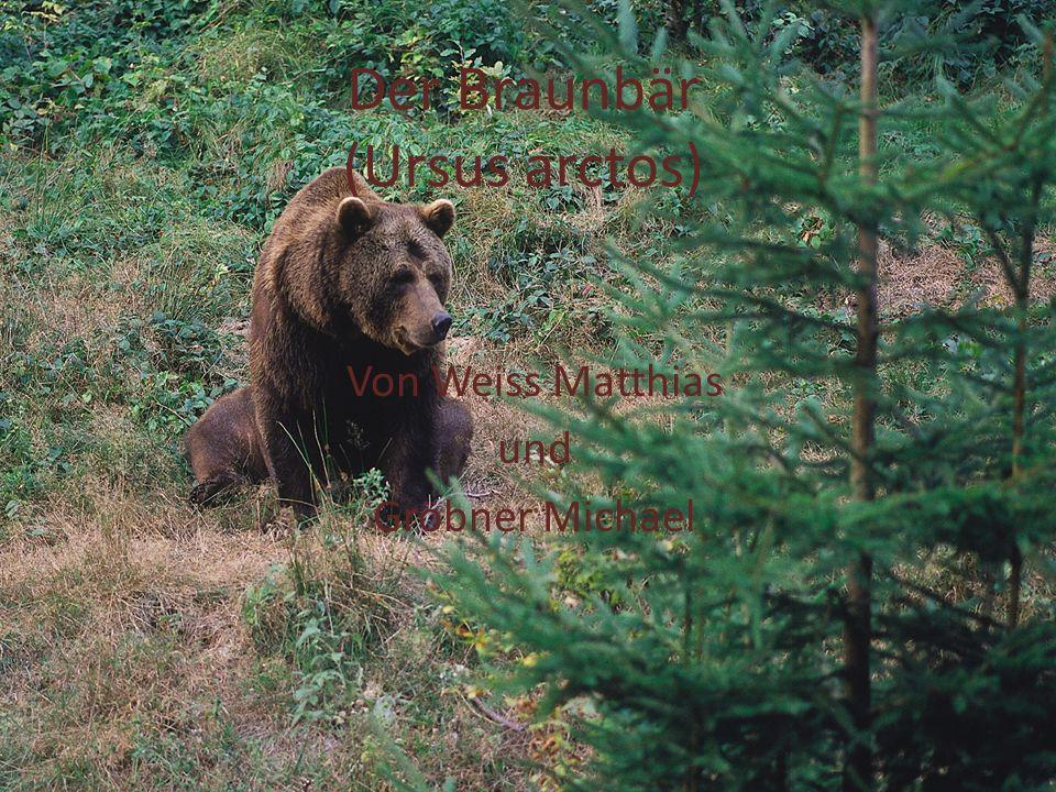 Steckbrief die am weitesten verbreitete Bärenart der Erde sehr anpassungsfähig Fellfarbe kann stark variieren sehr ausgeprägten Geruchssinn sind Allesfresser Männchen sind größer als Weibchen Männchen 140 – 320kg Weibchen 100 – 200kg Braunbären in Österreich ausgerottet 1850 1972 wieder nach Österreich eingewandert
