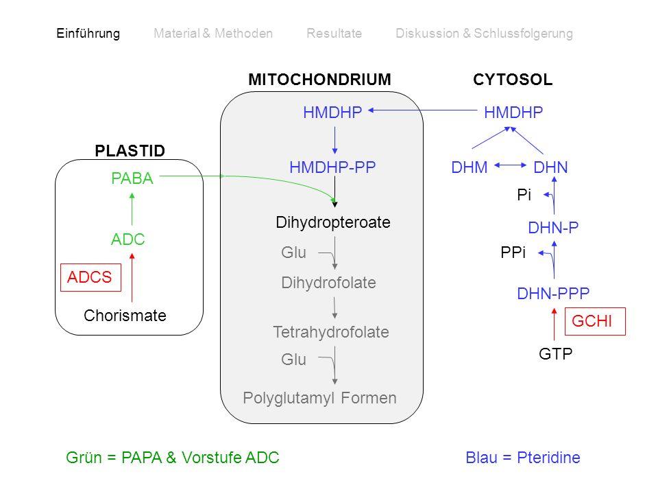 PABA Chorismate ADC ADCS PLASTID Polyglutamyl Formen Dihydrofolate Tetrahydrofolate Glu HMDHP HMDHP-PP Dihydropteroate MITOCHONDRIUMCYTOSOL GTP DHN-PP