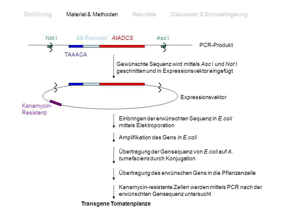 Gewünschte Sequenz wird mittels Asc I und Not I geschnitten und in Expressionsvektor eingefügt TAAACA AtADCSE8 PromotorNot IAsc I PCR-Produkt Transgen