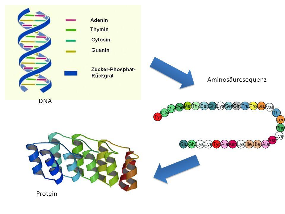 DNA Aminosäuresequenz Protein