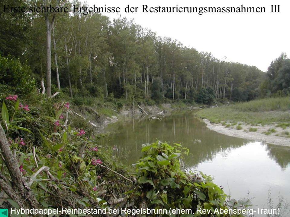Hybridpappel-Reinbestand bei Regelsbrunn (ehem. Rev. Abensperg-Traun) Erste sichtbare Ergebnisse der Restaurierungsmassnahmen III