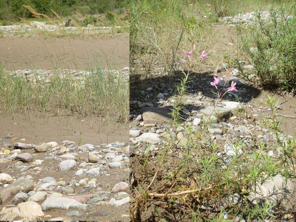 Noch? fehlende Schotterpioniere wie Myricaria germanica, Epilobium dodonaei, Calamagrostis pseudophragmites u.a.
