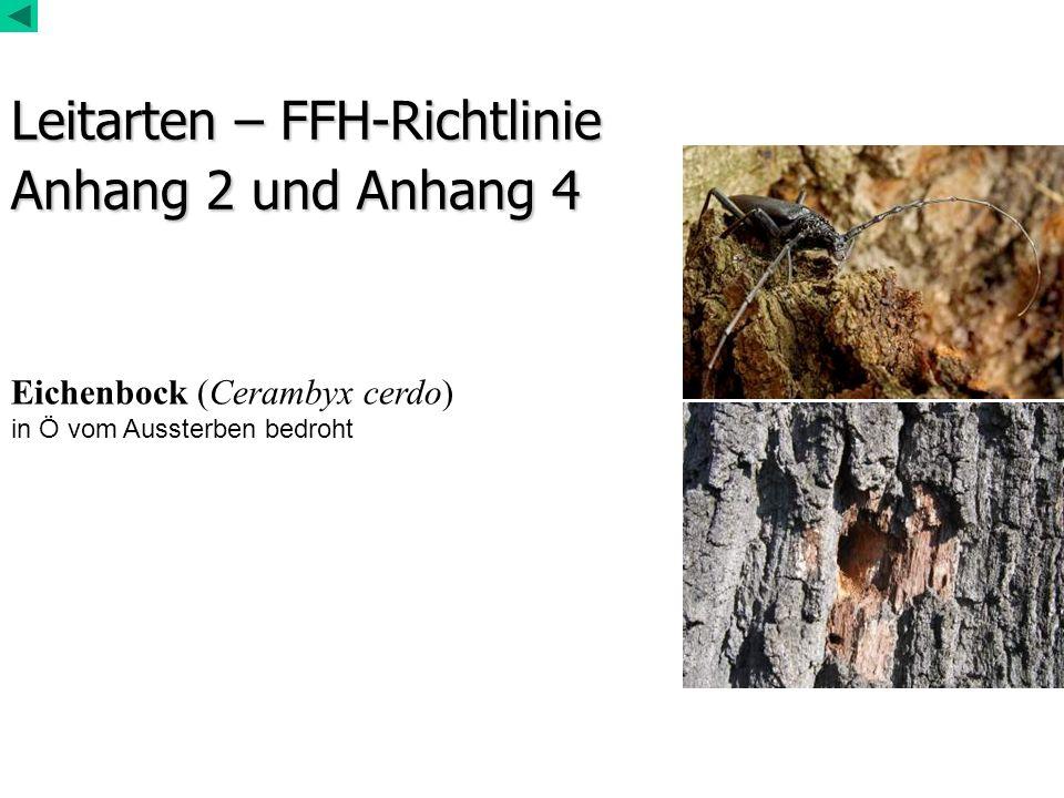 Leitarten – FFH-Richtlinie Anhang 2 und Anhang 4 Eichenbock (Cerambyx cerdo) in Ö vom Aussterben bedroht