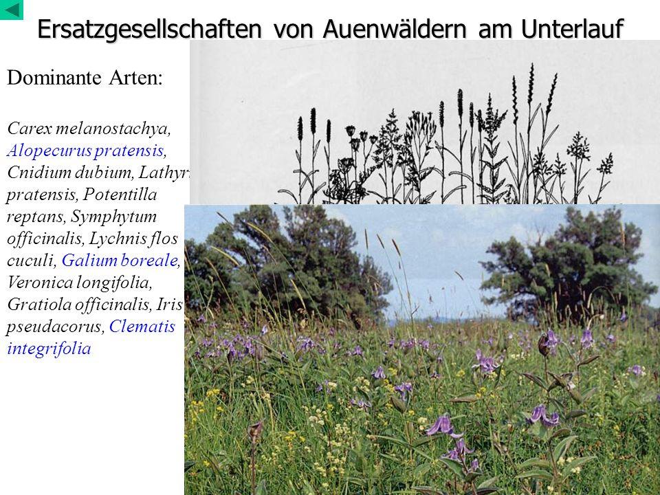 Ersatzgesellschaften von Auenwäldern am Unterlauf Dominante Arten: Carex melanostachya, Alopecurus pratensis, Cnidium dubium, Lathyrus pratensis, Pote