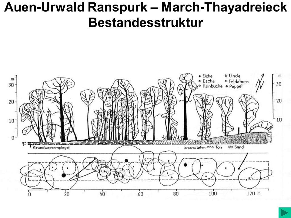Auen-Urwald Ranspurk – March-Thayadreieck Bestandesstruktur