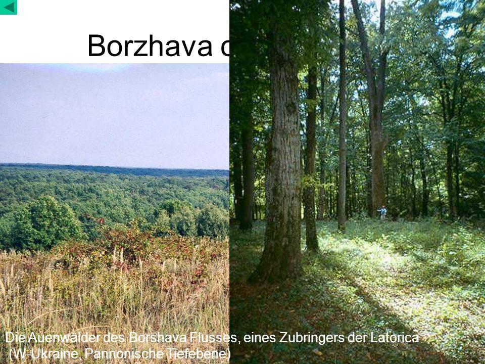 Borzhava canopy of the floodplain forests Die Auenwälder des Borshava Flusses, eines Zubringers der Latorica (W-Ukraine, Pannonische Tiefebene)