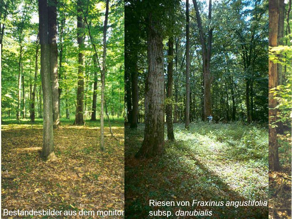 Photo gallery Bestandesbilder aus dem monitoring plot Atak Riesen von Fraxinus angustifolia subsp.