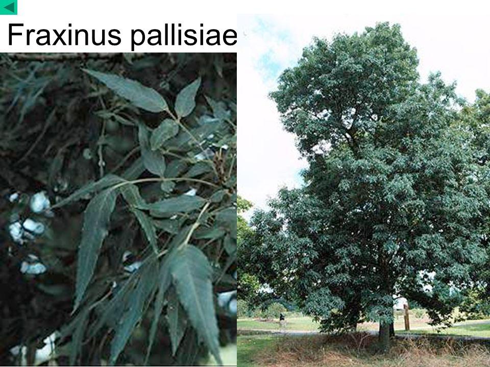 Fraxinus pallisiae