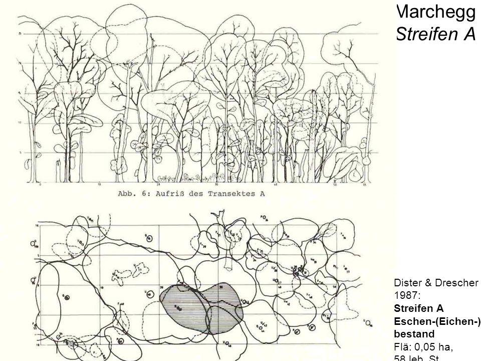 Strukturtypen Untere March-Auen Marchegg Streifen B Dister & Drescher 1987: Streifen B Eichen-Flatter- ulmen-bestand Flä: 0,1 ha, 49 leb.