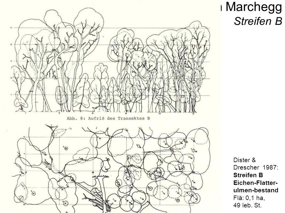 Untere Marchauen - Bilder Clematis integrifolia Marchmündungsbereich in dieDonau bei HWMarchmündungsbereich in dieDonau bei MW Baumhorstkolonie auf Qu.