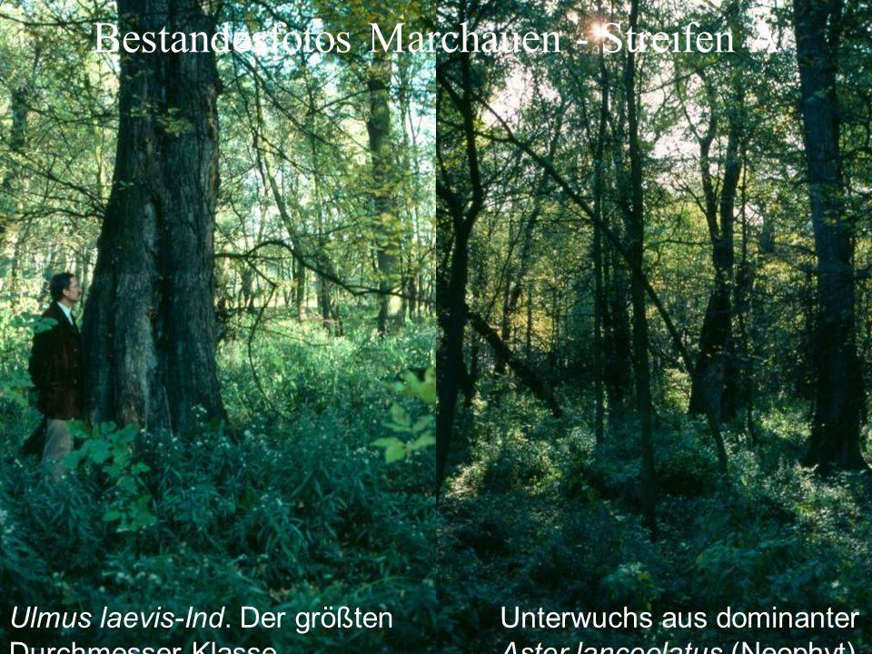 Bestandesfotos Marchauen - Streifen A Ulmus laevis-Ind.