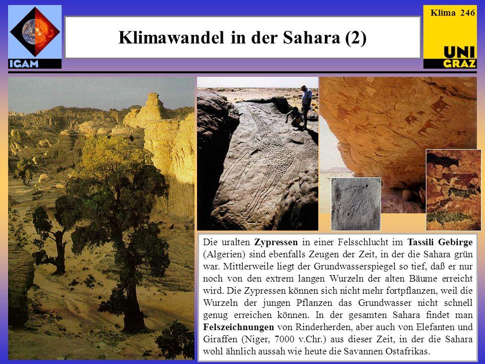 Klimawandel in der Sahara (2) Die uralten Zypressen in einer Felsschlucht im Tassili Gebirge (Algerien) sind ebenfalls Zeugen der Zeit, in der die Sah