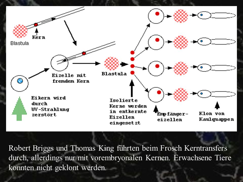 Klonen von Säugetieren Erste Versuche von Bromhall in den 70ern, allerdings wurden die Eizellen vorher nicht entkernt – die Klone starben im Frühstadium ab.