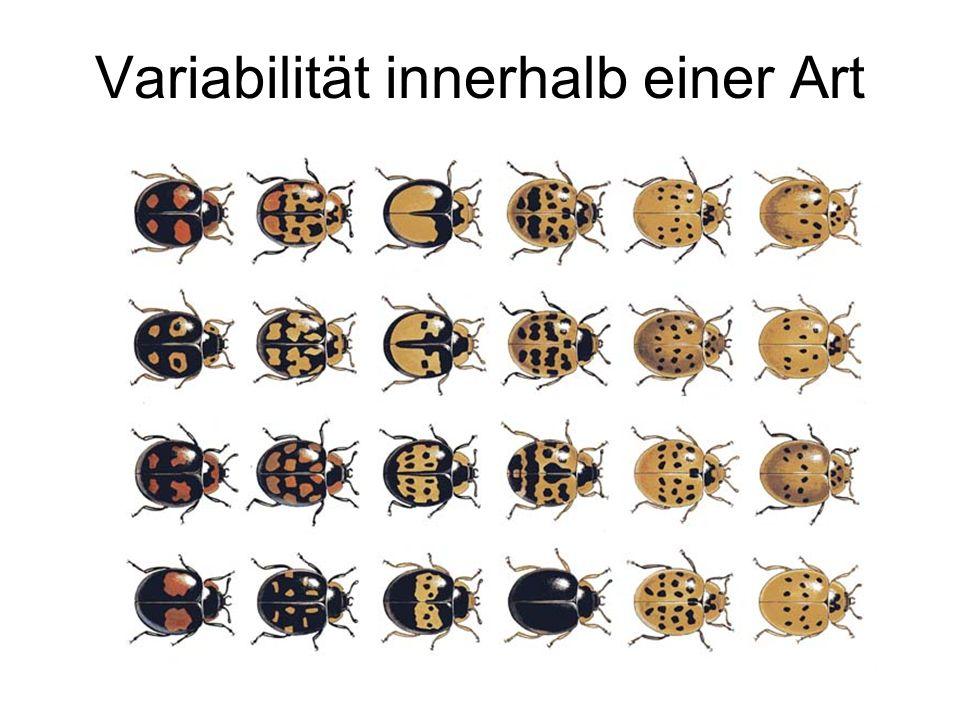 Harmonia axyridis: Unterschiede im Deckflügelmuster sind vorwiegend genetisch bedingt 1 Art: grosse Anzahl unterschiedlicher Morphen!* * heute: Genotyp