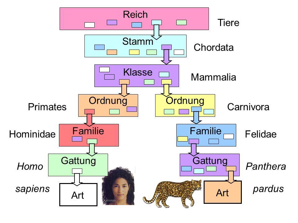 Reich Art Stamm Klasse Ordnung Familie Gattung Tiere Chordata Mammalia Carnivora Felidae Panthera pardus Ordnung Familie Gattung Art Primates Hominida