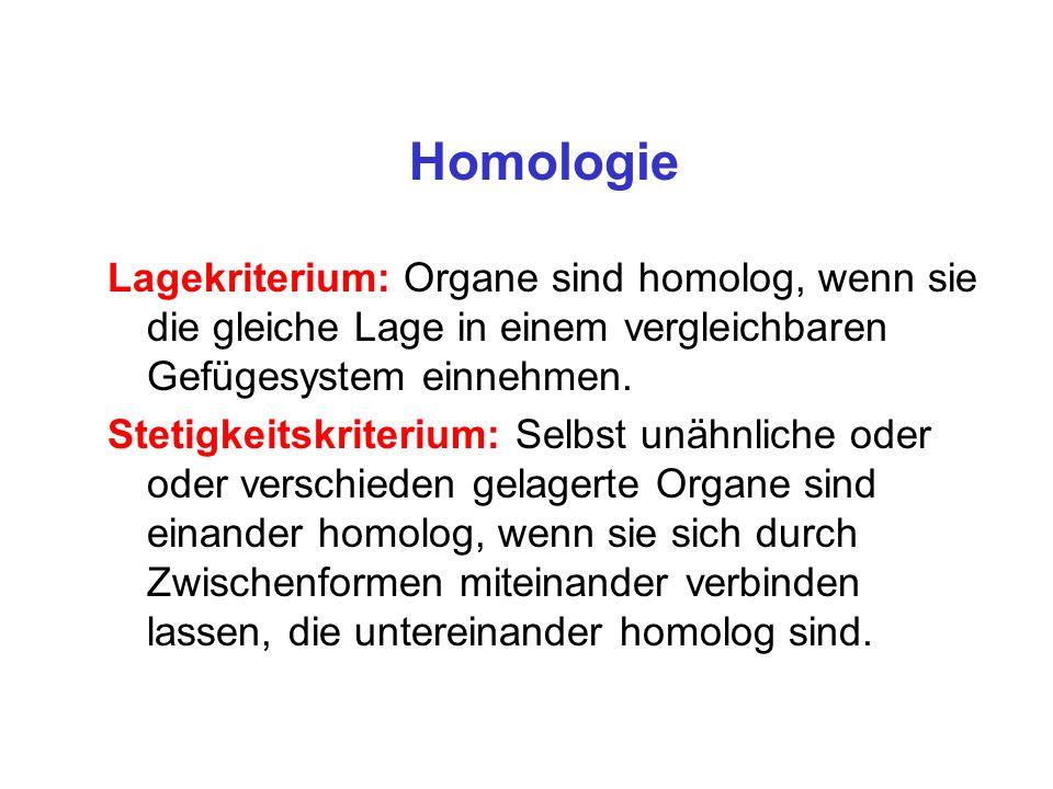 Homologie Lagekriterium: Organe sind homolog, wenn sie die gleiche Lage in einem vergleichbaren Gefügesystem einnehmen. Stetigkeitskriterium: Selbst u