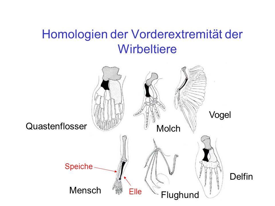 Homologien der Vorderextremität der Wirbeltiere Elle Speiche Quastenflosser Vogel Molch Mensch Flughund Delfin